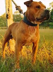 Foro American Pit Bull • Ver Tema - GR CH COY'S BANJO (5XW ...